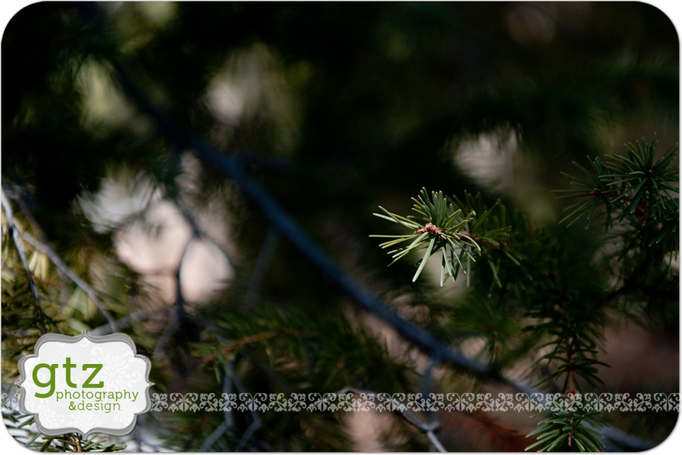Pine tree closeup