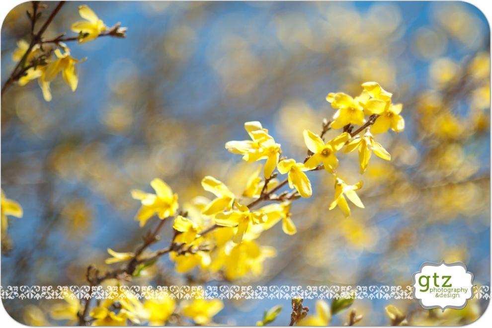 Forsythia blooms in Santa Fe, NM