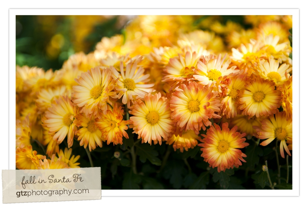Yellow and orange mums, botanical gardens, albuquerque, nm
